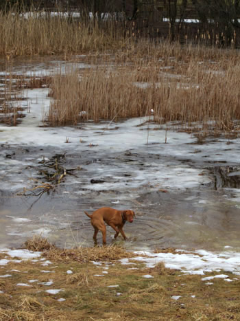 dog romping in pond