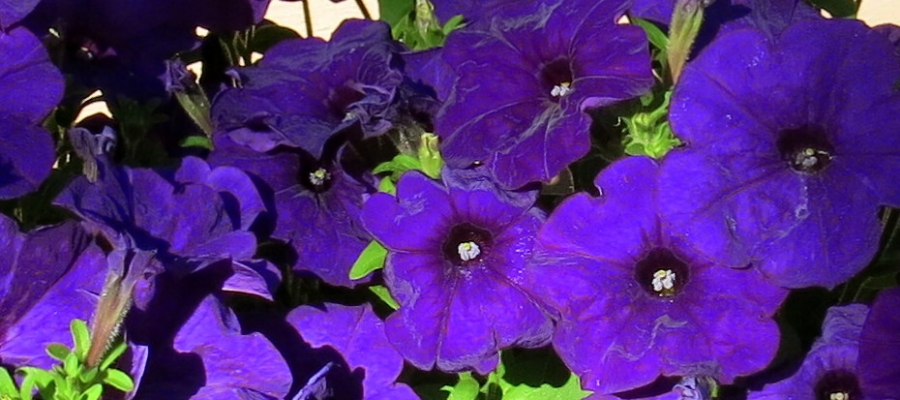 Ravished by Petunias