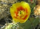 Prickly Pear blooms on the Rim Trail